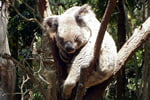 Check out the koalas at Currumbin Wildlife Sanctuary